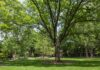 Living near an abundance of trees such as this one on the University of Louisville campus were shown to offset the negative effects of air pollution on blood vessel health in a recent UofL study