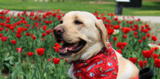 Therapy dog sitting in front of tulips